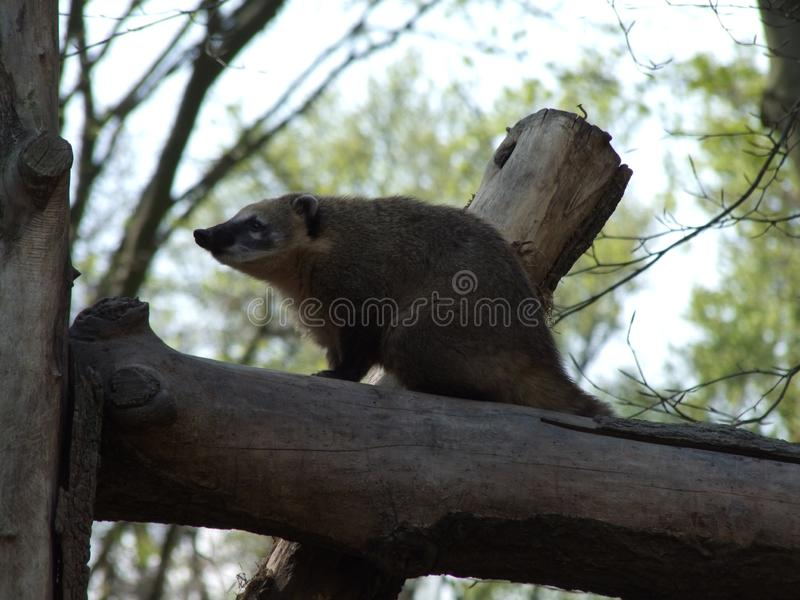 Animale dei coati che si siede su un ramo immagini stock libere da diritti