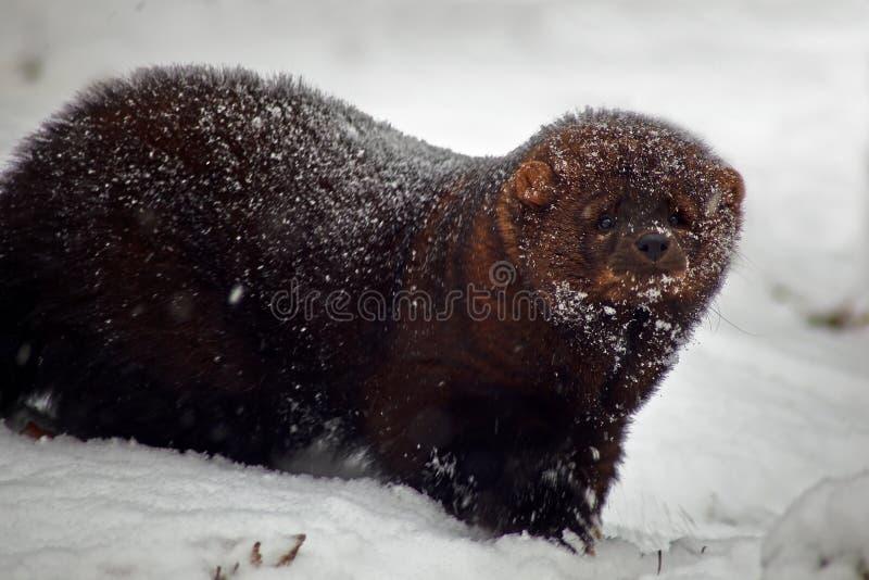 Animale del Fisher in neve fotografia stock