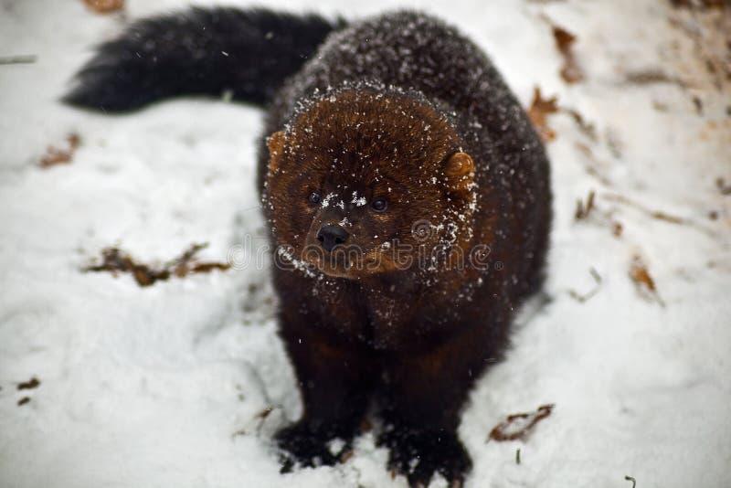 Animale del Fisher su neve immagine stock