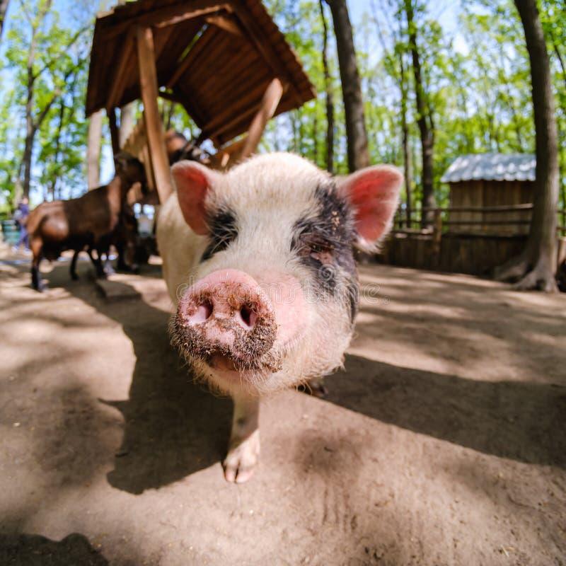 Animale del maiale sull'azienda agricola, naso domestico del mammifero, primo piano fotografia stock
