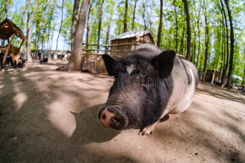 Animale del maiale sull'azienda agricola, naso domestico del mammifero, rosa fotografia stock libera da diritti