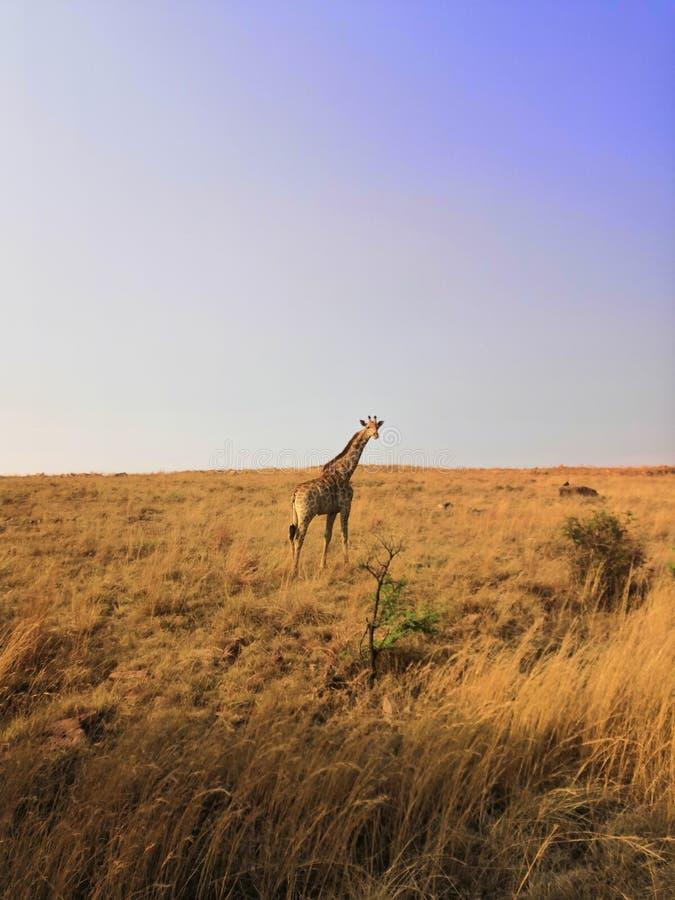 Animale del paesaggio della natura di Johannesburg di safari della giraffa immagine stock libera da diritti
