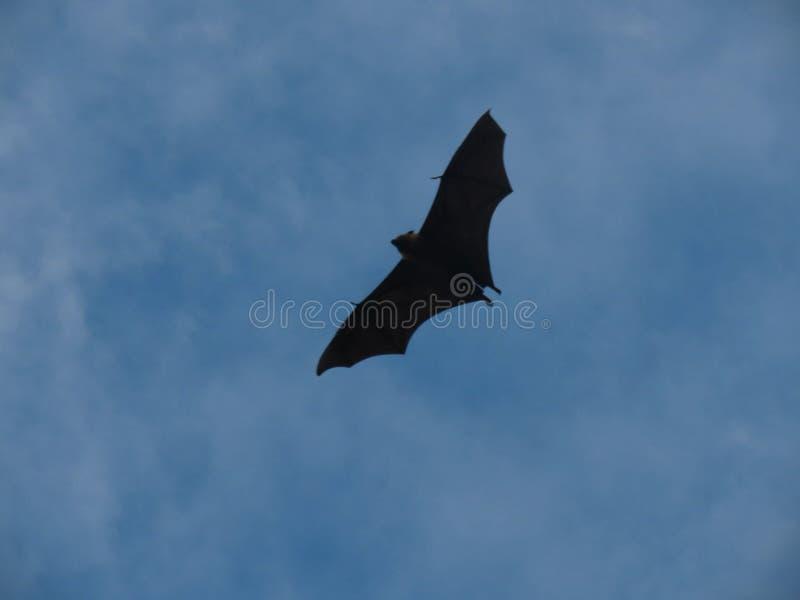 Animale del pipistrello immagini stock libere da diritti