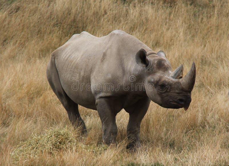 Animale del rinoceronte immagine stock libera da diritti