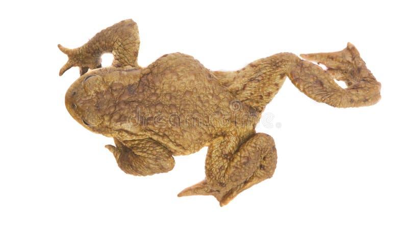 Animale della rana che cammina sul bianco immagine stock