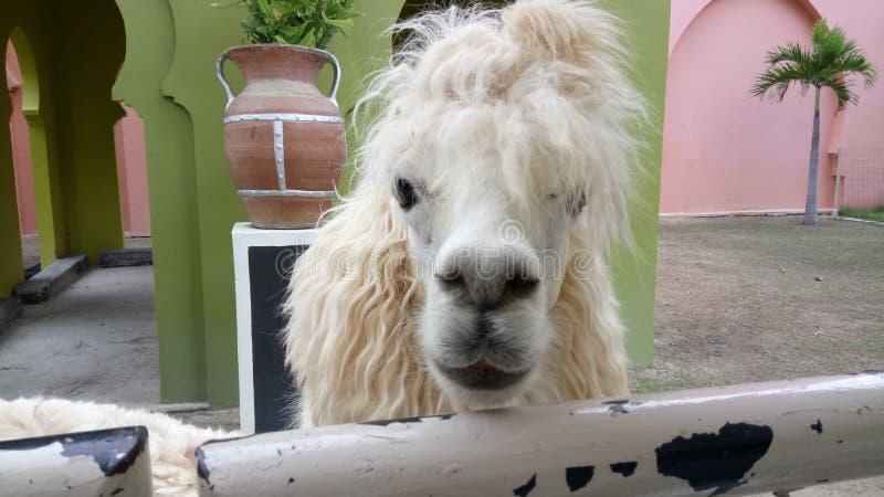 Animale di Alpacahill fotografie stock libere da diritti