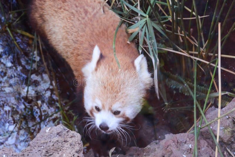 Animale di Lesser Red Panda Firefox Mammal fotografia stock libera da diritti