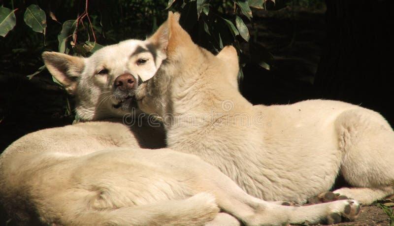 Download Animale - dingo fotografia stock. Immagine di dingo, madre - 220374