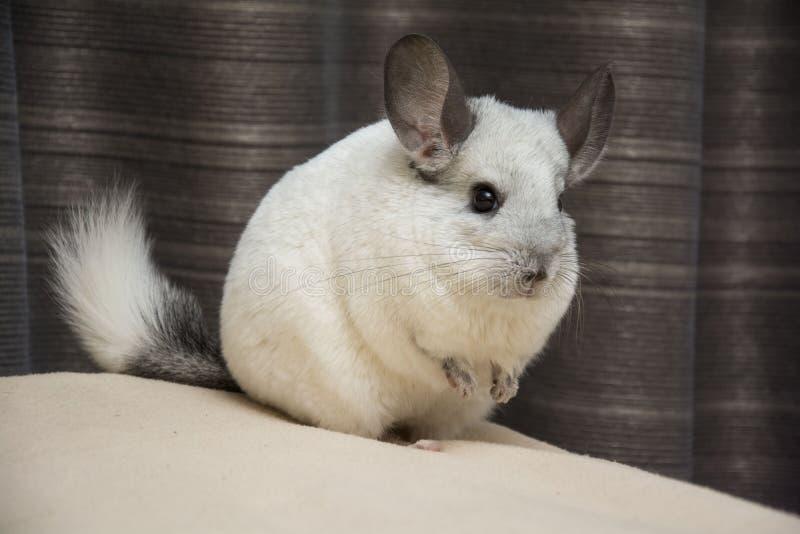 Animale domestico bianco del cincillà immagini stock