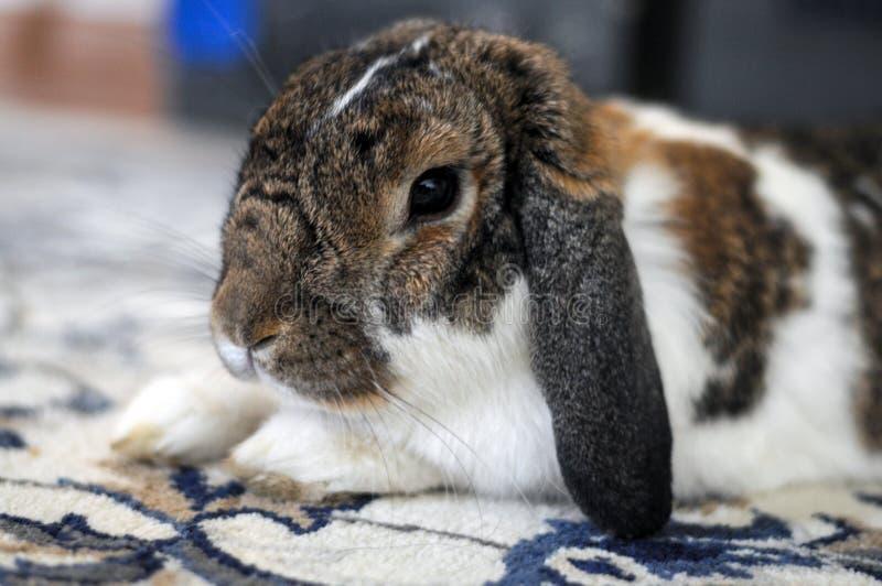 Animale domestico bianco domestico lanuginoso sveglio e di marrone del coniglietto immagini stock libere da diritti