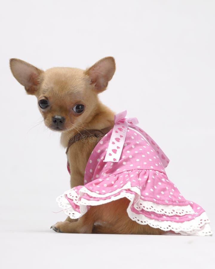 Animale domestico del cane della chihuahua fotografie stock libere da diritti