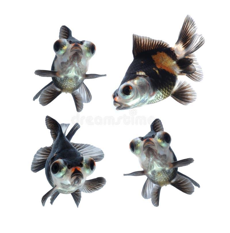 Animale domestico del Goldfish isolato su priorità bassa bianca immagine stock