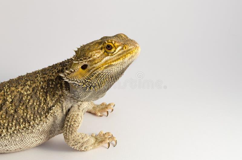 Animale domestico del rettile, isolato su fondo bianco immagine stock libera da diritti