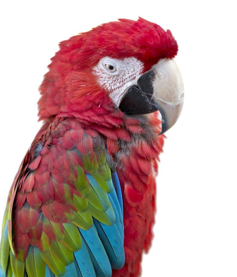 Animale domestico dell'ara dell'uccello del pappagallo isolato immagini stock
