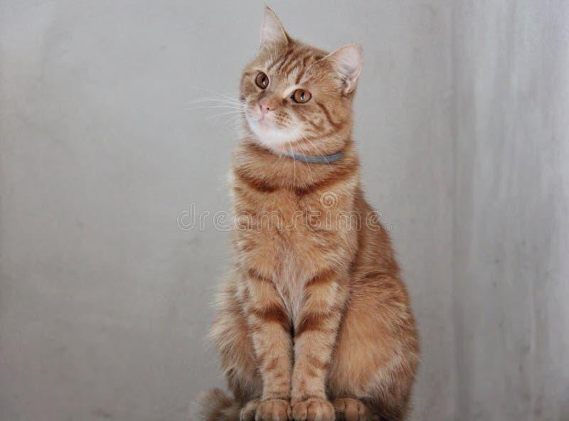 Animale domestico domestico che si siede Ginger Cat fotografia stock libera da diritti