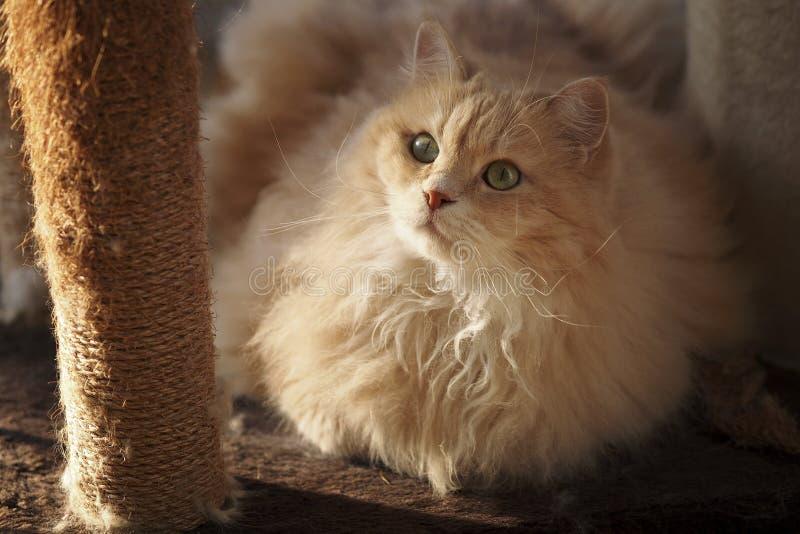 Animale domestico ed animale Gatto siberiano nell'azione fotografia stock