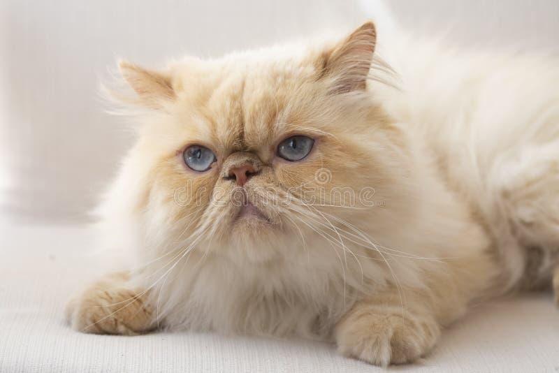 Animale domestico; gatto sveglio dell'interno Gatto persiano osservato blu immagini stock libere da diritti