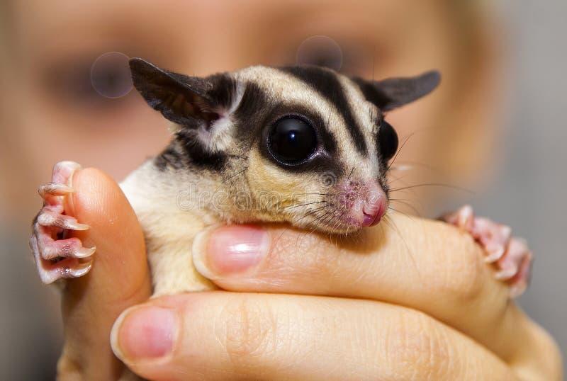 Animale fatto a mano sveglio dell'opossum australiano immagini stock