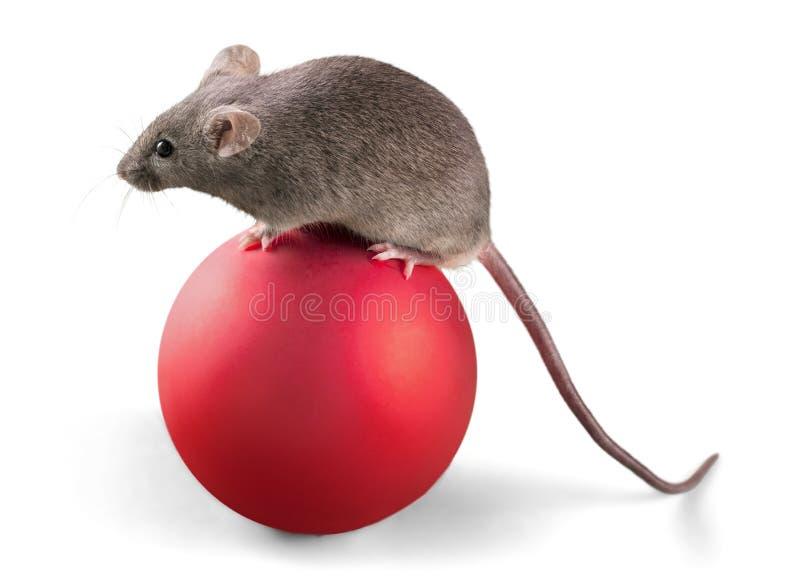 Animale grigio del topo sulla palla su fondo immagine stock