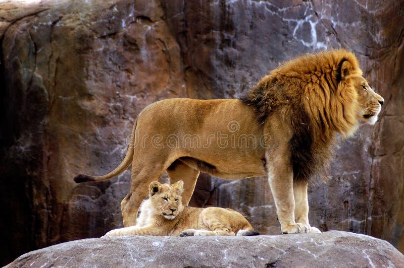 Animale - leone africano (krugeri del leo del Panthera) fotografie stock libere da diritti
