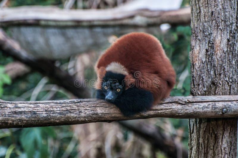 Animale Madagascar della giungla delle lemure di Brown fotografia stock