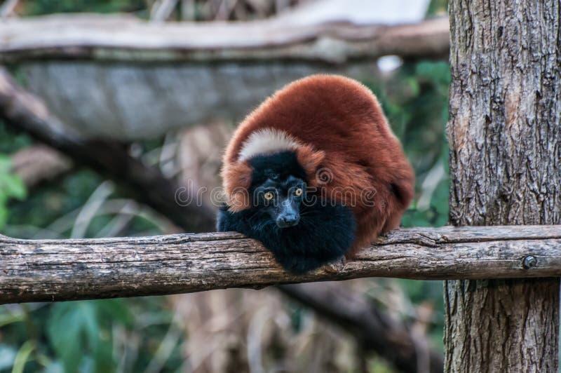 Animale Madagascar della giungla delle lemure di Brown fotografia stock libera da diritti