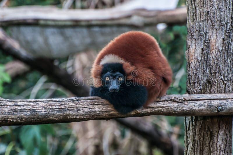 Animale Madagascar della giungla delle lemure di Brown immagini stock libere da diritti