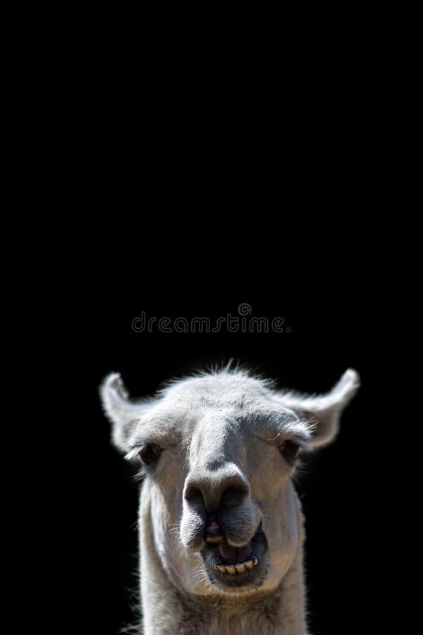 Animale muto Schioccare capo del lama sciocco su Immagine divertente del meme immagine stock libera da diritti