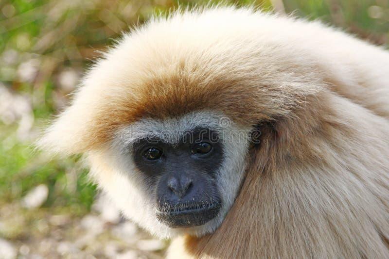 Animale peloso del langur del nero della scimmia fotografie stock libere da diritti