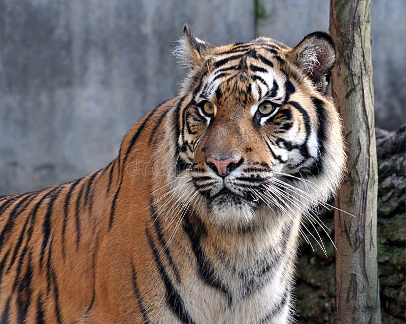 Animale pericoloso, tigri fotografia stock