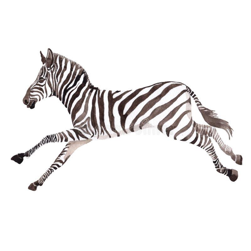 Animale selvatico esotico della zebra in uno stile dell'acquerello isolato fotografia stock