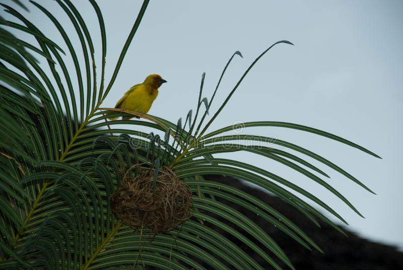 Animale Zanzibar di Finch Bird Yellow Green Wild fotografia stock