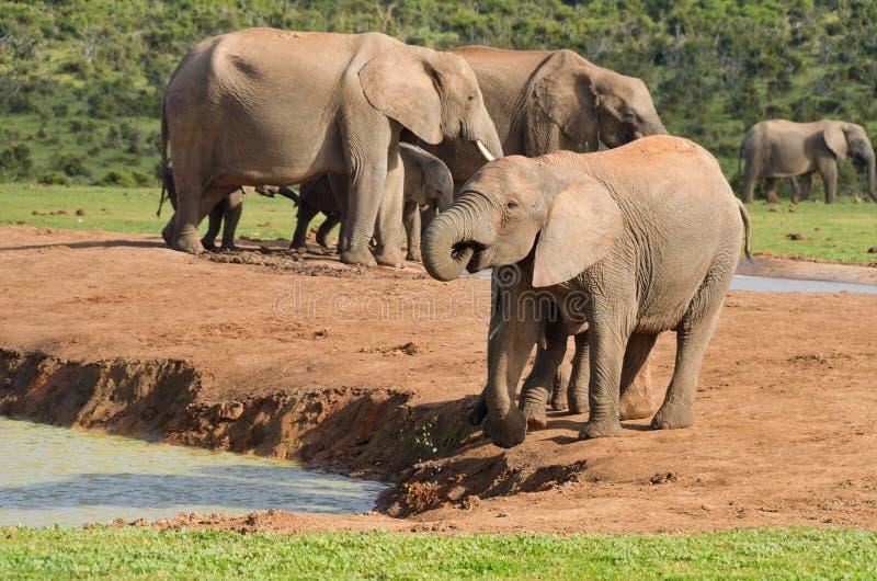 Animales africanos, agua potable de los elefantes fotos de archivo