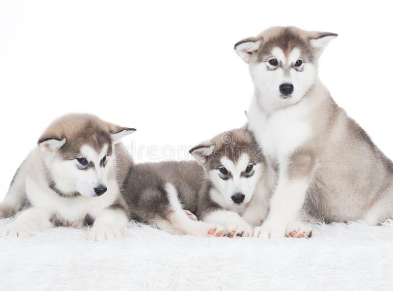 Animales ¡Blanco fornido de tres perritos aislado! fotografía de archivo libre de regalías