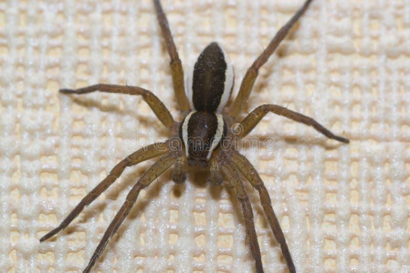 Animales de animales domésticos de la araña foto de archivo libre de regalías