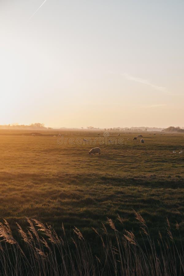 Animales de granja en la distancia en un campo durante la puesta de sol en Norfolk, Inglaterra, Reino Unido, foco selectivo imagen de archivo