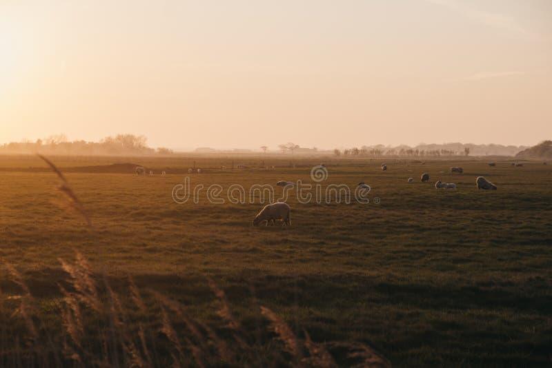 Animales de granja en la distancia en un campo durante la puesta de sol en Norfolk, Inglaterra, Reino Unido, foco selectivo imagen de archivo libre de regalías