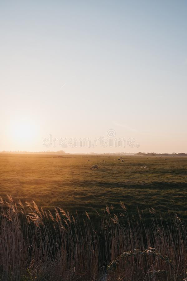 Animales de granja en la distancia en un campo durante la puesta de sol en Norfolk, Inglaterra, Reino Unido, foco selectivo fotos de archivo