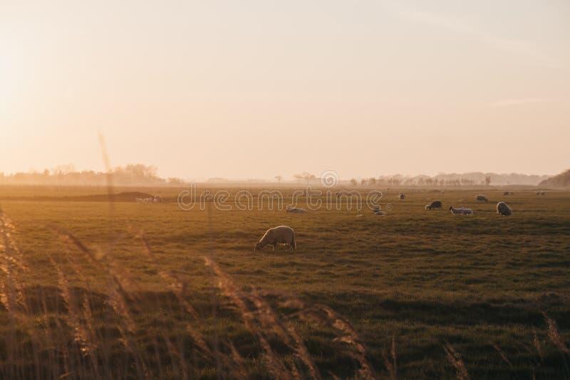 Animales de granja en la distancia en un campo durante la puesta de sol en Norfolk, Inglaterra, Reino Unido, foco selectivo fotografía de archivo libre de regalías