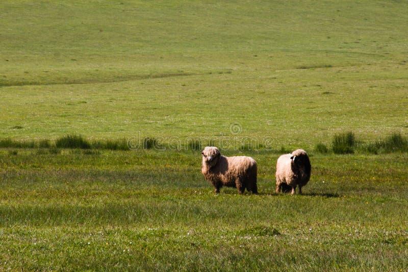 Animales de la naturaleza de las ovejas imagen de archivo libre de regalías