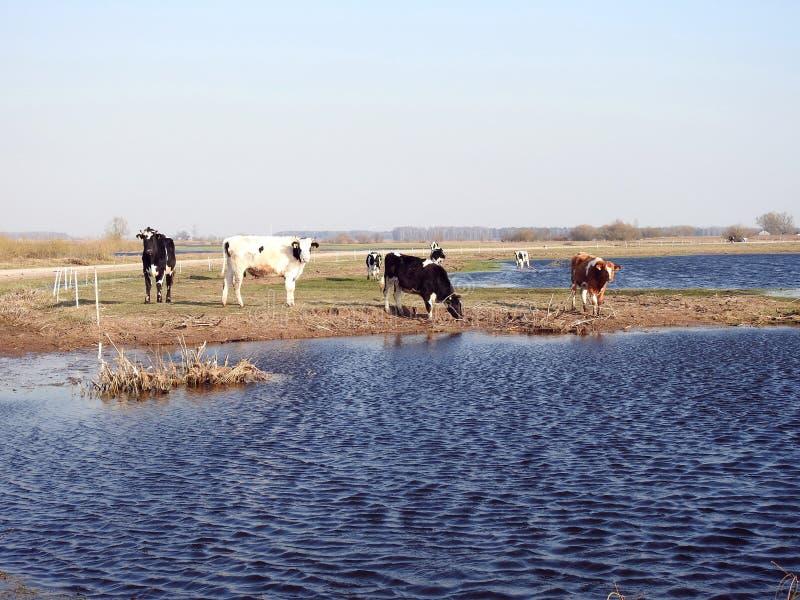 Animales de la vaca en el campo de inundaci?n, Lituania fotos de archivo libres de regalías