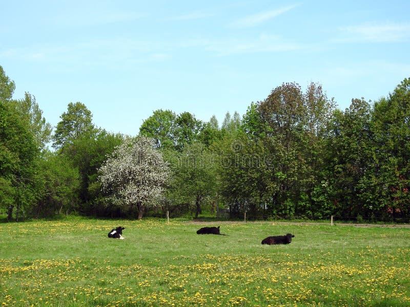 Animales de la vaca en el campo de la primavera, Lituania foto de archivo