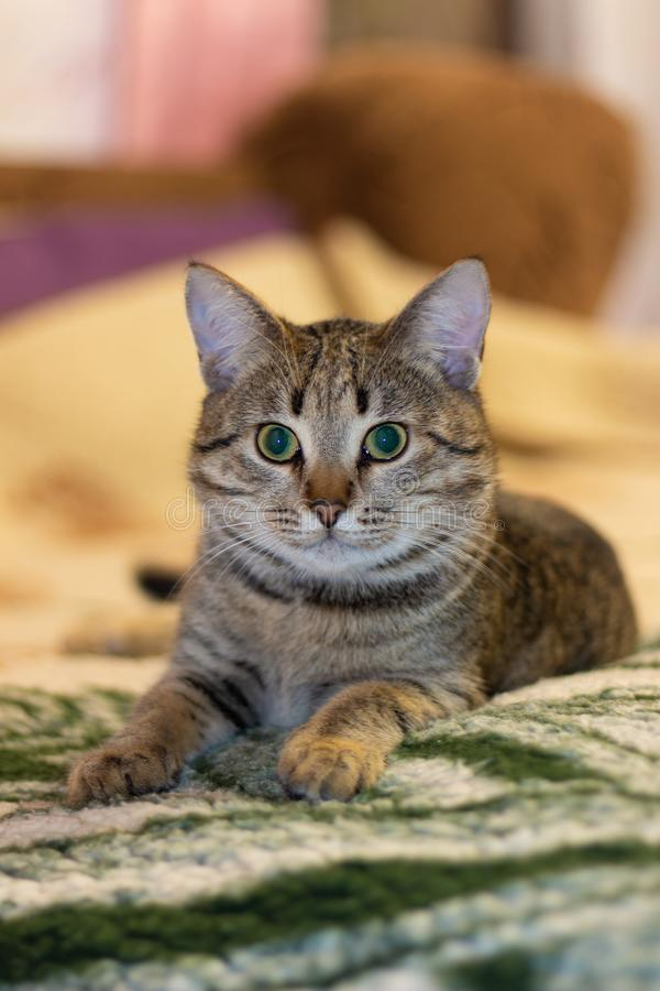 Animales de los gatos del hogar del gato mi pequeña belleza del gato del amigo como ella fotos de archivo libres de regalías