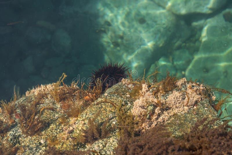 Animales de mar, erizos espinosos en el fondo del mar imagen de archivo libre de regalías