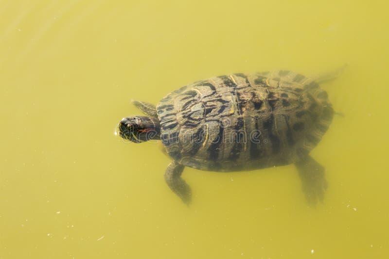 animales del agua de la tortuga foto de archivo libre de regalías