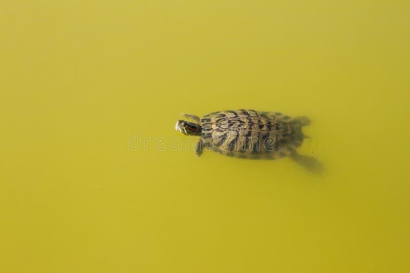 animales del agua de la tortuga foto de archivo