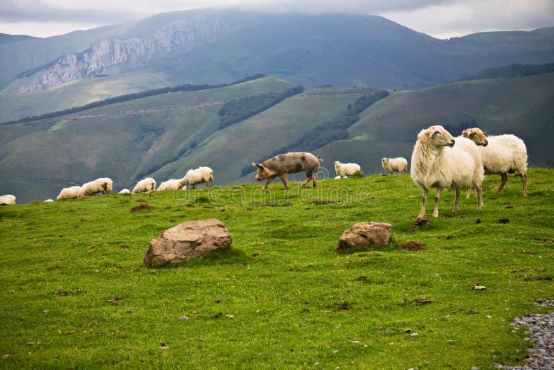 Animales del campo libres en montañas del irati, país basque, Francia imagen de archivo libre de regalías