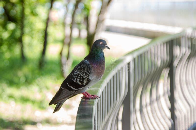 Animales del pájaro de la paloma fotografía de archivo libre de regalías
