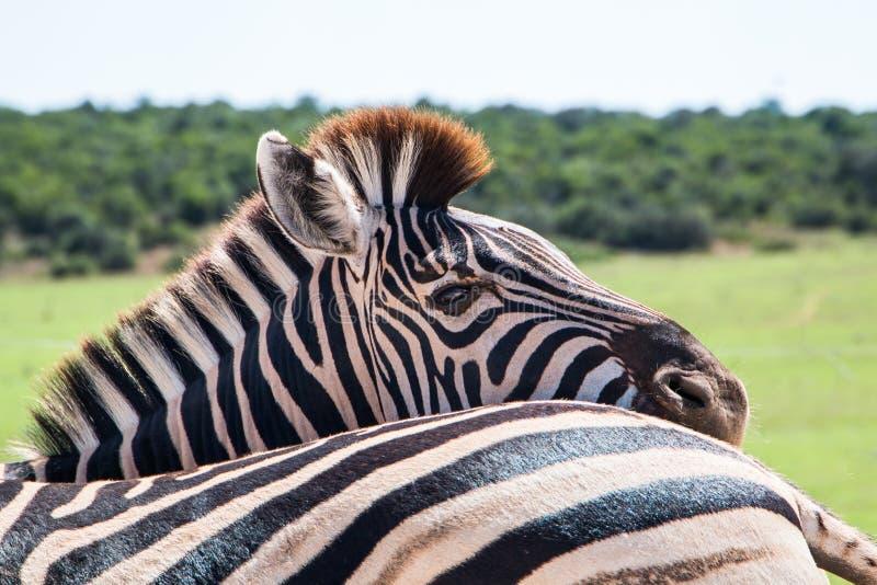 Animales del quagga del Equus de la cebra de los llanos que se unen cercanos imagen de archivo