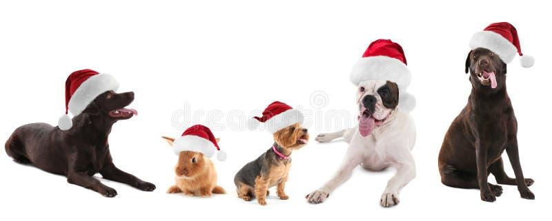 Animales divertidos lindos en los sombreros de Papá Noel en el fondo blanco imagenes de archivo